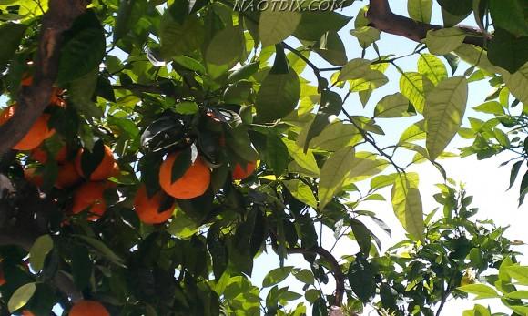 В городе, прямо на улицах растут апельсиновые деревья